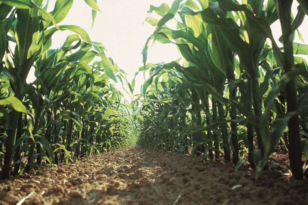 Onkruidbestrijding in maïs. - Foto: Bayer CropScience