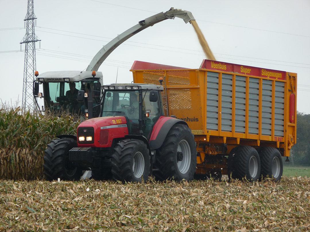 Veehouders hebben meer belangstelling voor maïskolvensilage (MKS) om op voerkosten te besparen. - Foto: KWS