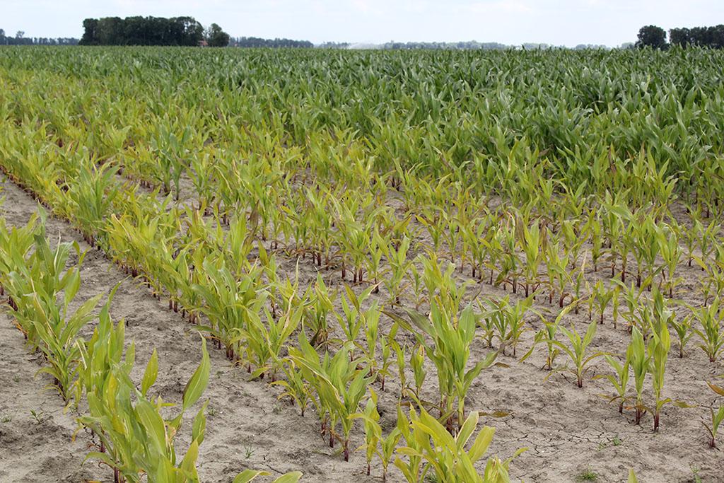 Maïs met zuurstofgebrek in de wortelzone door verdichting van de grond