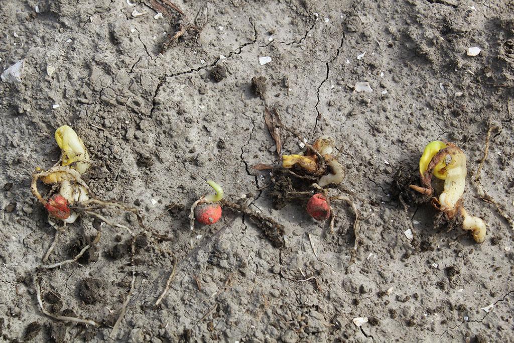 Niet of slecht gekiemd maïszaad als gevolg van aantasting door kiem- en/of bodemschimmels