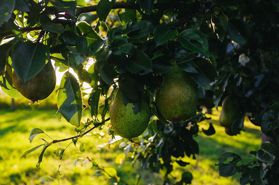 Jorrit ziet een veelzijdig bedrijf voor zich, met onder andere fruitteelt. Hier enkele peren die op het bedrijf groeien. - Foto's: Jorrit Kiewik