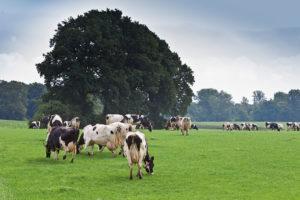 Grazende koeien in het Overijsselse Buurse. - Foto: Joris Telders