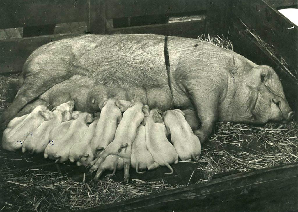 Het varken is een Veredeld Duits Landvarken. Dit ras was in Duitsland ontwikkeld, onder meer met de input van verschillende Engelse rassen. Pas in 1904 was het erkend als nieuw ras. Het werd ook in Nederland graag gebruikt. Het was goed vruchtbaar, had een rustig karakter en combineerde dat met hardheid en soberheid. - Foto: Misset
