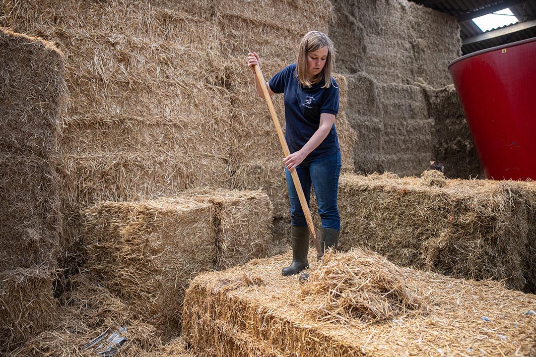 Kim bezig met de voorbereidingen voor het instrooien van de kalverhokken.