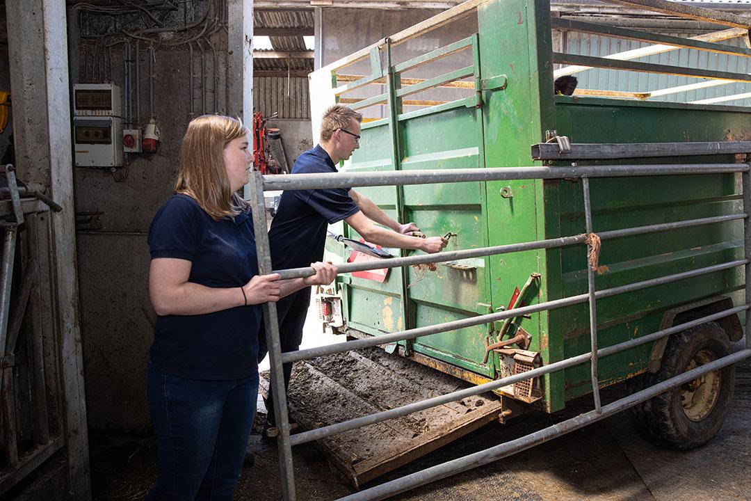 Broer en zus kunnen prima samenwerken, een koe in de trailer krijgen, gaat gesmeerd.