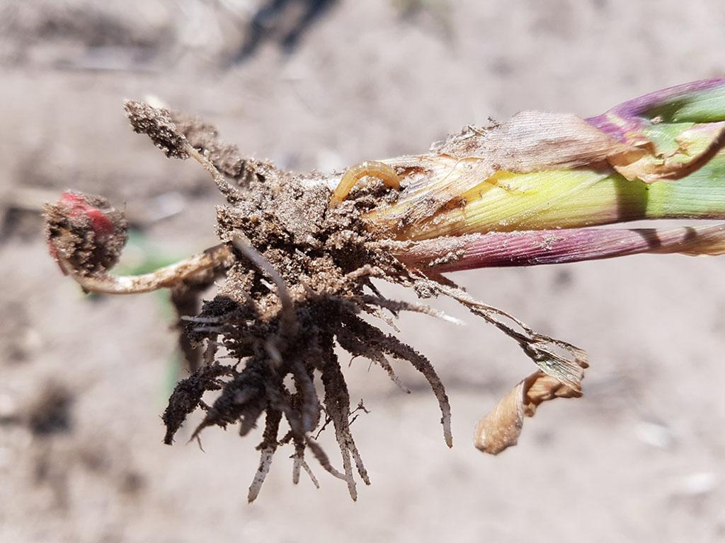 Jonge maïs wat is aangevreten door de ritnaald, is ten dode opgeschreven