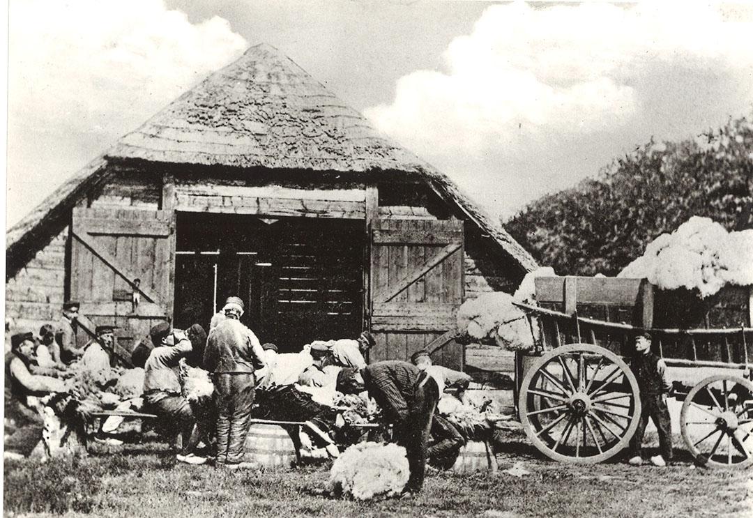 Op de foto uit 1917 ging schapenscheren nog met een wolschaar. Zo rond 1919 hadden kappers in Amerika de eerste tondeuses in handen, bedoeld voor het kortwieken van mensen. De doorontwikkeling tot scheerapparaat voor vee zou nog enkele decennia op zich laten wachten. - Foto: Misset