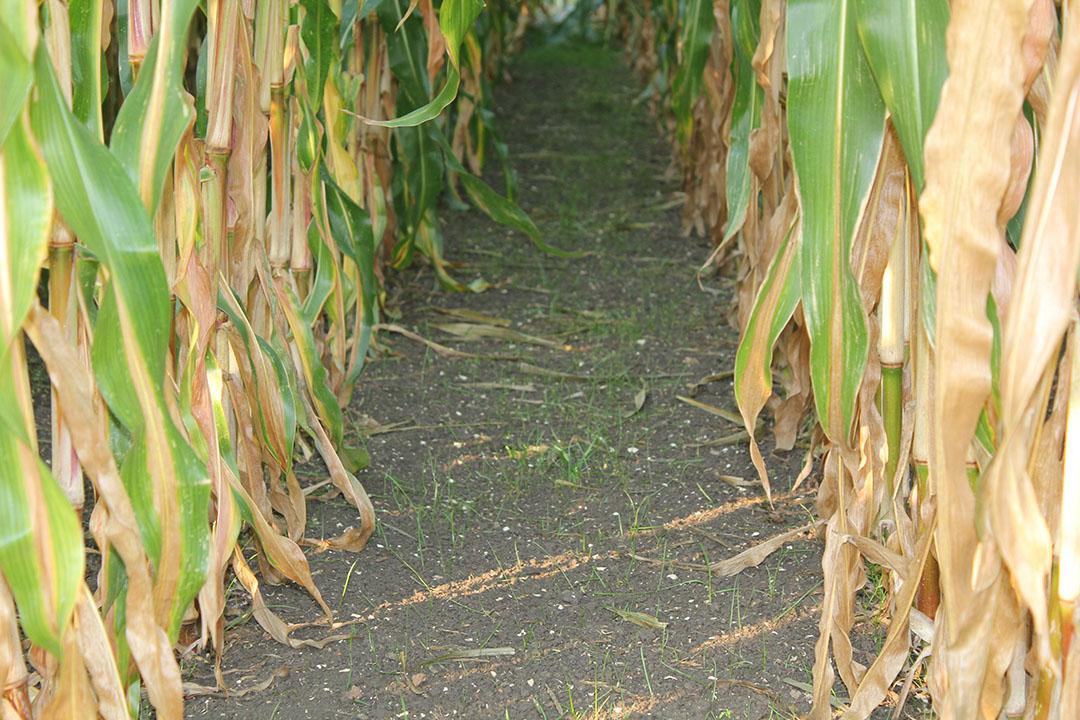 Stand van de onderzaai kort voor de oogst van de maïs. - Foto: KWS