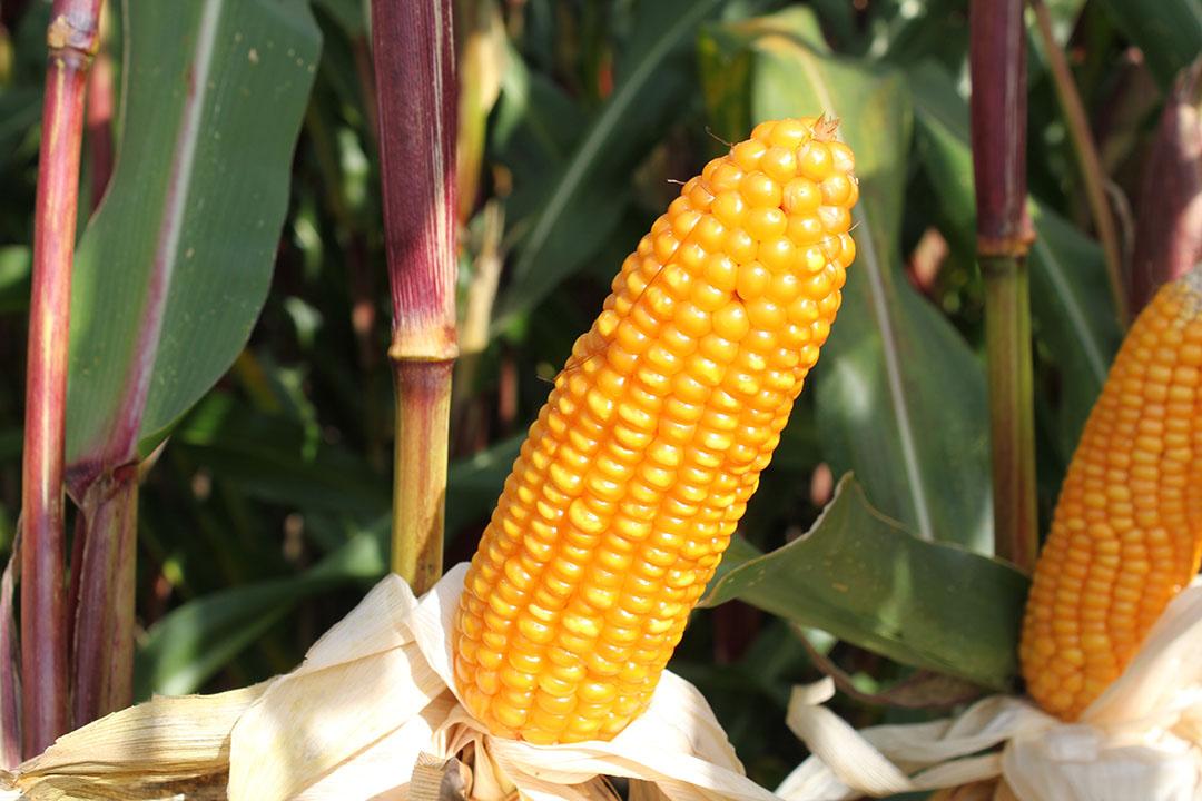 Tijdig rijpe maïs op basis van de korrel maakt het verschil. - Foto: KWS