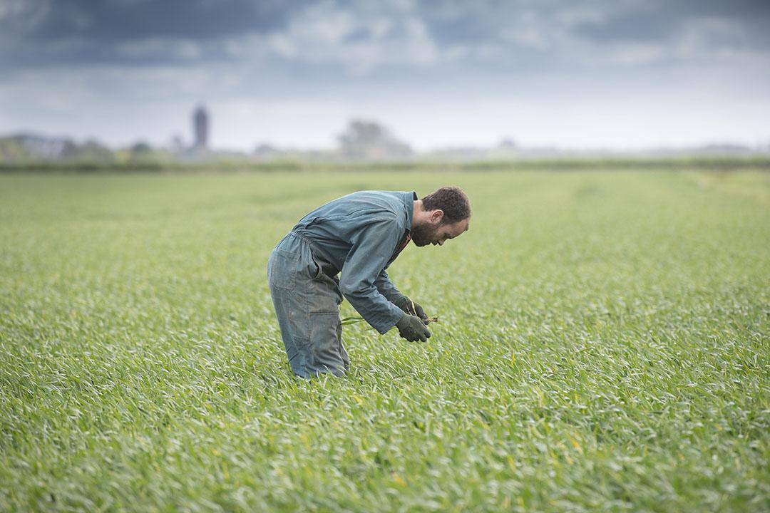 Inspectie van de gewassen. Joost teelt onder andere zaaizaad voor tarwe.
