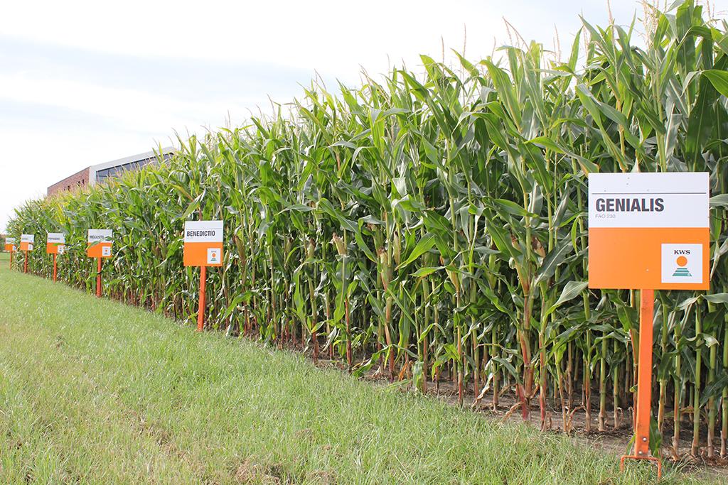 KWS-maïsrassen worden geselecteerd op korrelvroegrijpheid en zijn daarmee bewezen vroeg. - Foto: KWS
