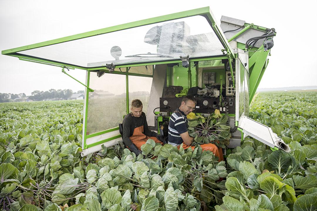 10 hectare spruiten staan er. Tijdens de oogst helpt iedereen mee.