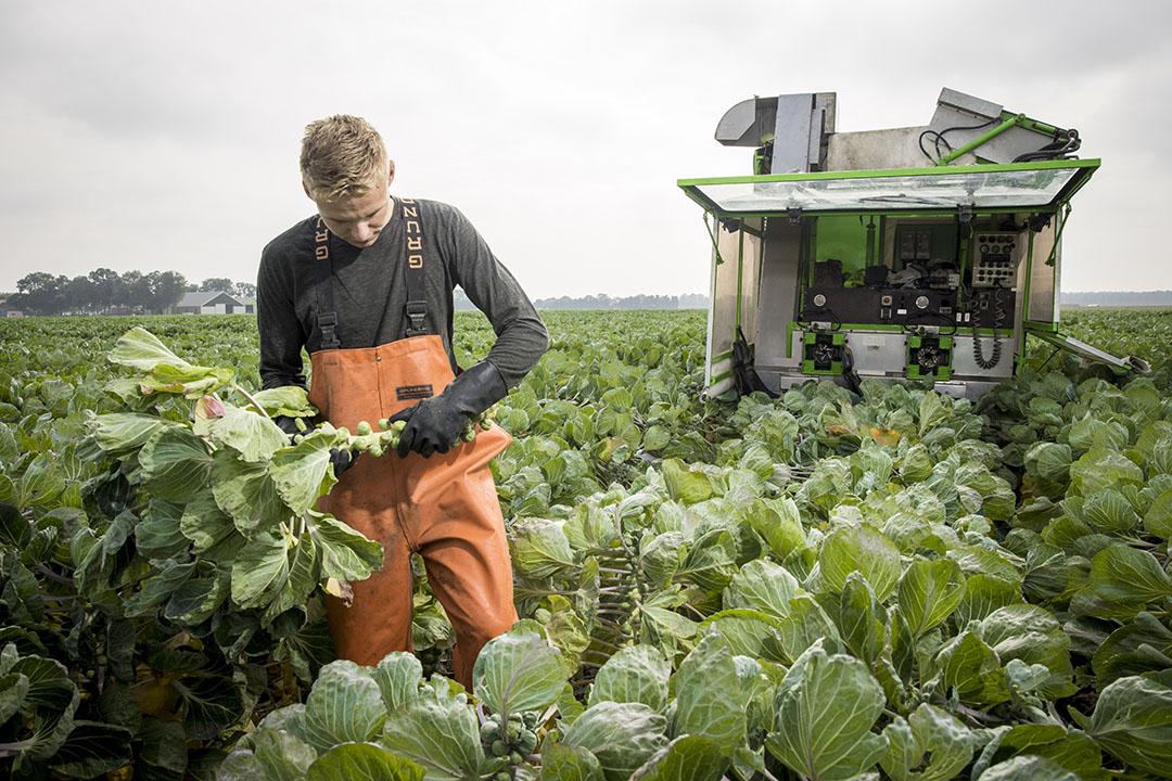 Leon beoordeelt de spruitkool. Er staat 10 hectare en meer hoeft van hem niet.